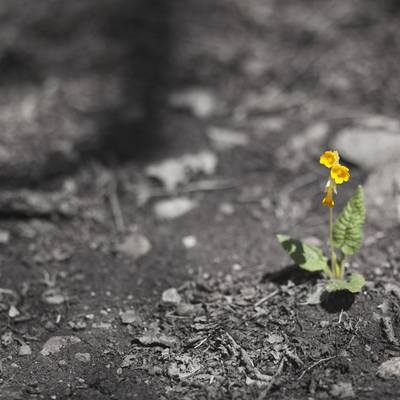 Yellow flower budding in ashes
